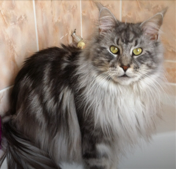 Forrest - Maine Coon